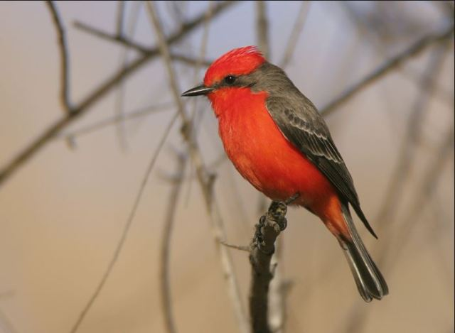 The Vermilion Flycatcher ~ a most GORGEOUS bird Photo Credit: www.birdfriends.com